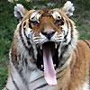 Tigrra