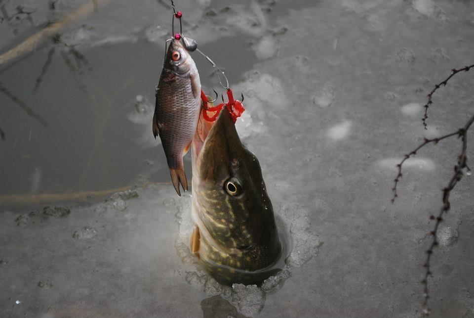 Tag pechedubrochet sur CARNALOR La Pêche des Carnassiers Image11