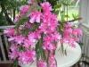 Epiphyllum German Empresss
