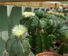 Flowering Astrophytum