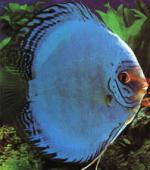 aqua-discus