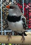 allefbird