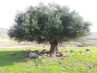 Greffé sur Israël