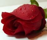 عاشقة الورود 89
