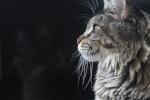Vos recherche de Chats ou Chatons 242-33
