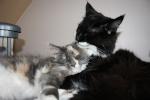 Offres de chats et chatons disponibles des membres du forum 94-21