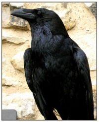 M_Crow