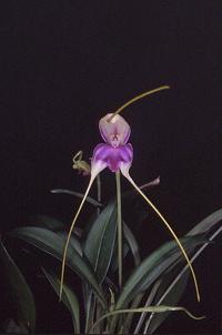 Forum Orchidées Cattlaelia, une passion à partager 1173-25