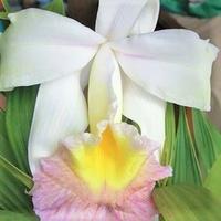 Identifier votre orchidée 1260-42