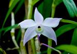 Paphiopedilum botaniques 31-48