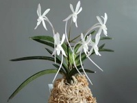 Galerie de vos Orchidées en fleurs et Orchidées in situ 457-65