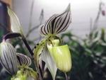 Paphiopedilum botaniques 603-38
