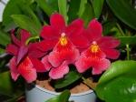 Les orchidées terrestres in situ 686-10
