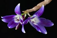 Angraecum, Aerangis et autres Angraecinae / Aerangidinae 772-9