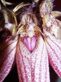 Culture des autres genres (dont Coelogyne, Cymbidium, Bulbophyllum) 857-27