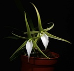 Expositions Orchidées 867-50