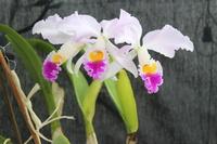 Paphiopedilum botaniques 942-40