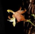 Angraecum, Aerangis et autres Angraecinae / Aerangidinae 985-81