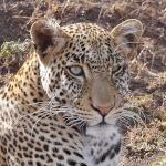 Safariman