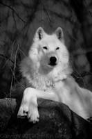 Misswolfie