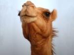 Camelão