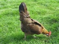 Les races de poules asiatiques 11529-14