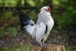 Les races de poules belges 5711-9