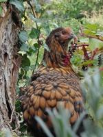 Les races de poules françaises 9342-53