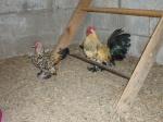 Les Pigeons, colombes et tourterelles 9716-47