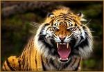 TigerLeDoux