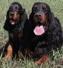 Охотничьи собаки Дальнего Востока 2-76