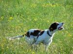 Охотничьи собаки Дальнего Востока 41-52