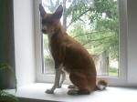 Охотничьи собаки Дальнего Востока 473-75