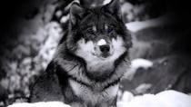 Blackwolfie