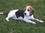 Ilarion Beagles