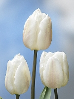 tulipanobianco