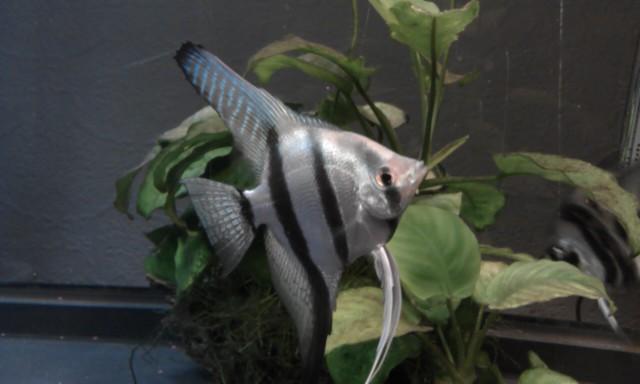 Nemo - Blue Silver
