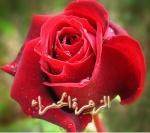 الزهرة الحمراء
