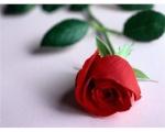 ملاك الورد