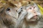VoVô do macaco