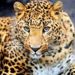 Il leopardo audiofilo