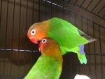 Les oiseaux domestiques, de volières. 199-91