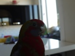 Les oiseaux domestiques, de volières. 336-4