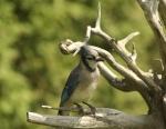 Les oiseaux domestiques, de volières. 9-81