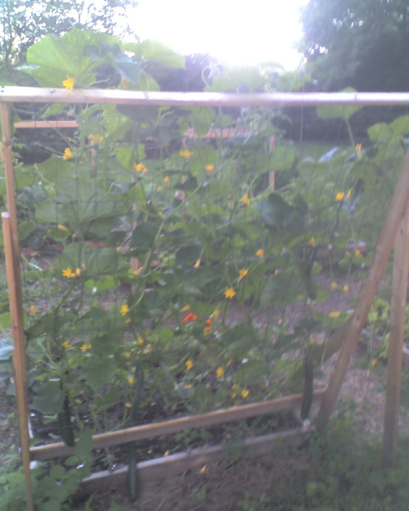 Cucumber Trellis idea 08-06-10