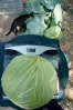 5.8 lbs OS cabbage picked 7-7-12