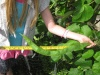 one of several longish runner beans roughly 23 inches long if you follow the curve and still growing