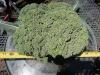 "11"" broccoli  5/11/12"