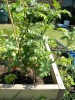 My green beans are turning a funny color but other wise lots of tomatoes and strawberries. Very fun!