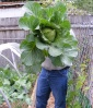 FamilyGardening (rose) with his BIG STUFF Cabbage. 2 lb-4oz June 14th 2012
